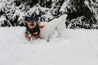 Kaboompics - Two small dogs are playing on fresh snow