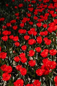 Kaboompics - Red tulips flowers