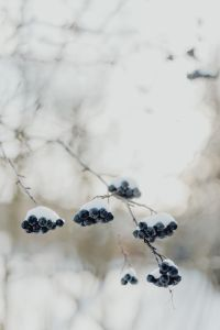 Kaboompics - Chokeberry on the branch covered with snow