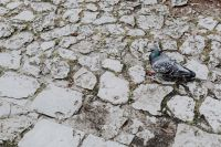 Kaboompics - Old brick and stone pavements and pigeon