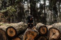 Kaboompics - A small black dog is sitting on a pile of felled wood in the forest