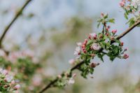 Kaboompics - A blooming apple trees in spring