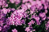 Kaboompics - Pink flowers blooming in spring
