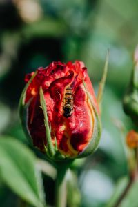 Kaboompics - Vespidae - wasp on rose flower