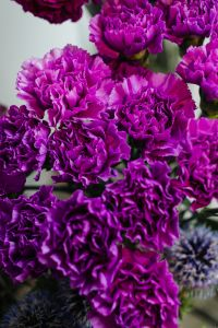 Kaboompics - Various purple fresh flowers (carnations)