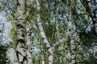 Kaboompics - Birch trees in a forest