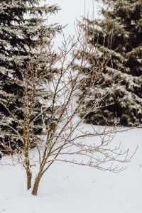 Kaboompics - Branches covered with fresh snow // Magnolia, Coniferous Tree