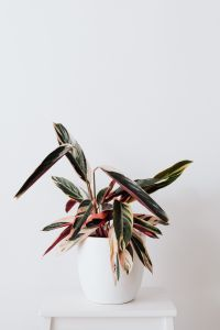 Kaboompics - Calathea Triostar in a pot on a white background