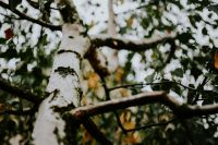 Kaboompics - Birch tree trunk