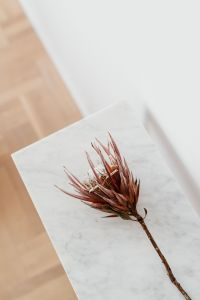 Kaboompics - Protea on The White Marble Table, White Background