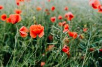 Kaboompics - A field of Red Poppies