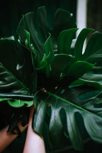 Kaboompics - Monstera