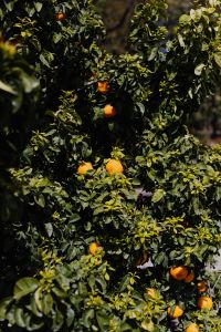 Kaboompics - Orange tree