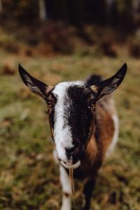 Kaboompics - A cute brown goat on pasture