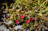 Kaboompics - Succulent plant with red flowers