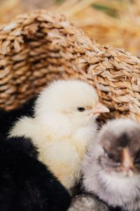 Kaboompics - Cute baby chickens