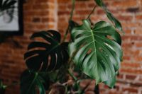 Kaboompics - Green leaves of Monstera plant growing at home