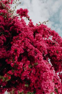 Kaboompics - Pink bougainvillea flowers against the traditional Portuguese white house