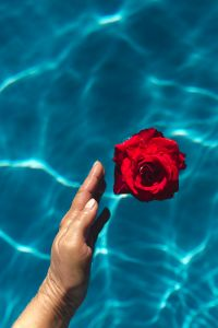 Kaboompics - Hand & fresh garden rose on the blue water of a swimming pool
