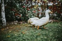 Kaboompics - White ducks on the grass