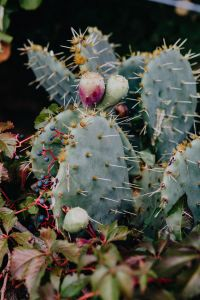 Kaboompics - A prickly pear cactus with fruit