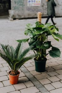 Kaboompics - Sago palm & Monstera plants