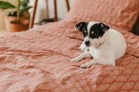 Kaboompics - Little dog on the bedding