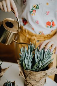 Kaboompics - Woman Watering Plant - Senecio serpens - Blue Chalk Sticks