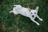 Kaboompics - White dog lying on the grass