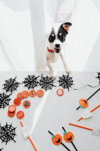 Kaboompics - White dog & halloween decorations