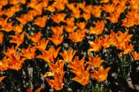 Kaboompics - Orange tulips flowers