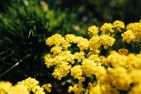 Kaboompics - Small yellow flowers
