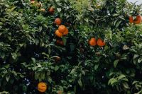 Kaboompics - Oranges on the tree