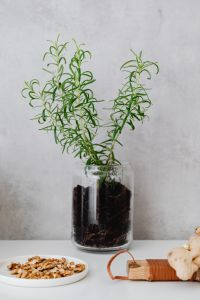 Kaboompics - Rosemary in a pot
