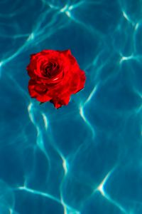 Kaboompics - Fresh garden rose on the blue water of a swimming pool on a warm summer day