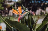 Kaboompics - Strelitzia reginae, commonly known as the crane flower or bird of paradise