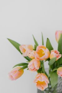 Kaboompics - Pink and yellow tulips