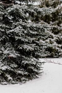 Kaboompics - Branches covered with fresh snow // Spruce, Coniferous Tree
