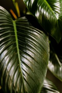 Kaboompics - Philodendron Congo Green