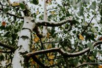 Kaboompics - Birch tree branches