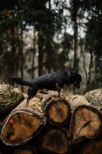 Kaboompics - A small black dog on a pile of felled wood in the forest
