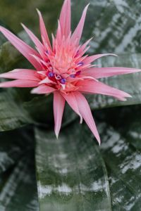 Kaboompics - Flowering pot plant Aechmea