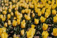 Kaboompics - Yellow tulips flowers