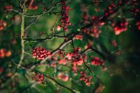 Kaboompics - Red rowan on branches