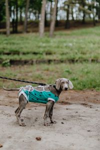 Kaboompics - Dog dressed in post-surgery clothes - Recovery Suit