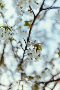 Little white flowers on branches