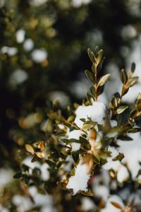 Kaboompics - Boxwood covered with fresh snow