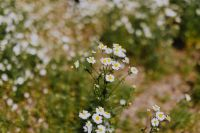 Flowering camomile