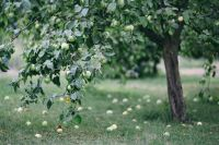 Kaboompics - Apple tree