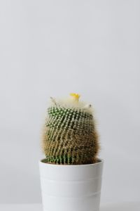 Kaboompics - Cactus in a pot on a white background